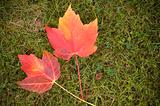 Two Maple Leaves on Grass