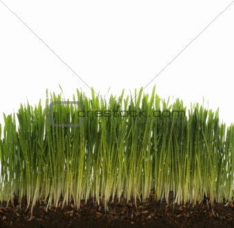 green fresh wheat