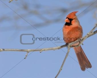 Cardinal (Cardinalis cardinalis)