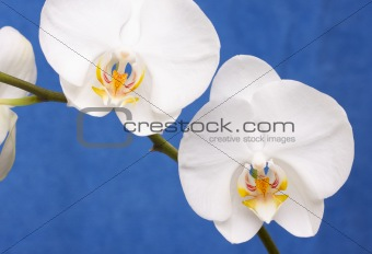 Macro Orchid Flower Blossom