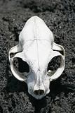 Animal Skull 02
