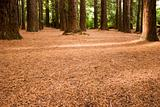 Redwood Forest 04