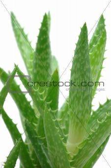 Close up of aloe vera