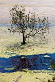 Mangrove Tree in Algaed Water