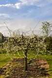 blossom apple orchards vale of evesham worcestershire