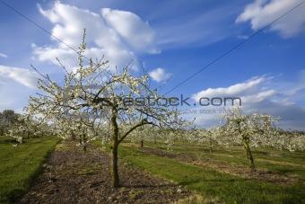 blossom apple orchards vale of evesham worcestershire