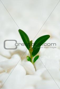Green shoot