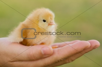 Small chicken on hand