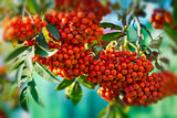 Mountain ash  tree with ripe berry on a background of grass and sky