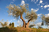 Tuscany olive tree