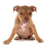 puppy old english bulldog