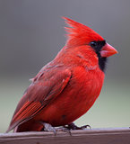 Cardinal on a brown plank