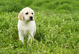 a yellow labrador puppy in green grass
