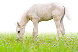 Horse foal in grass isolated on white