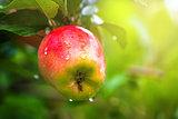 Organic red apple on branch