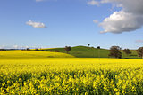 Golden canola flowering in springtime