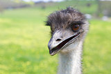 Happy emu
