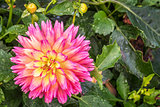 sunset dahlia flower