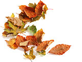 Autumn dried leafs