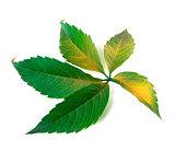 Yellowed grapes leaf (Parthenocissus quinquefolia foliage)
