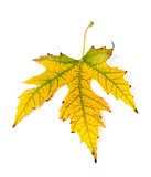 Autumn yellowed leaf
