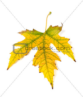 Autumn yellowed leaf