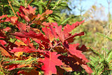 Bright red oak leaves in autumn season