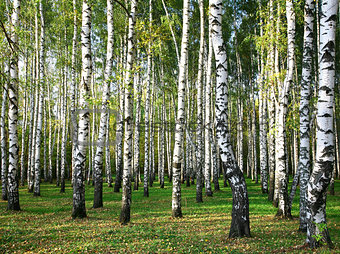 Autumn birch grove in the evening