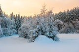dense mixed forest under snow and sunrise