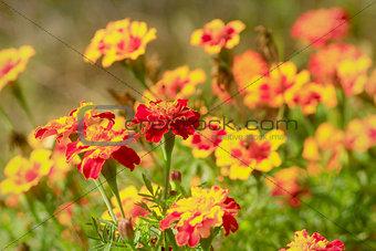 beautiful marigolds