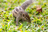 Cute and inquisitive Three Striped Palm Squirrel