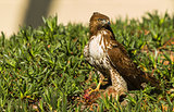 Young Red Tailed Hawk with Prey