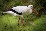 White Stork (lat. Ciconia ciconia) in swamp, Germany