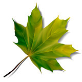 Green maple leaf isolated on white background.