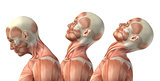 3D male medical figure showing cervical flexion, extension and h