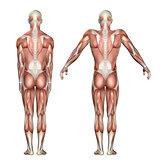 3D medical figure showing scapula elevation and depression