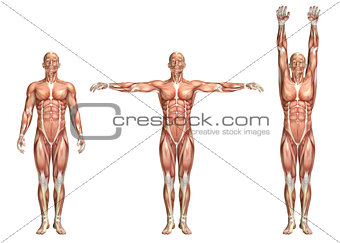 3D medical figure showing shoulder abduction and adduction