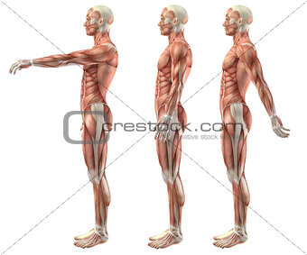 3D medical figure showing shoulder flexion, extension and hypere