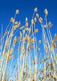 reed stand at the sea in blue sky