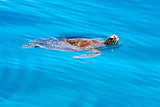 Sea turtle swimming Philippines