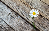 Daisy flower standing alone on wooden background