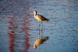 Long-billed Dowitcher (Limnodromus scolopaceus) reflected by famous Golden-Gate Bridge.