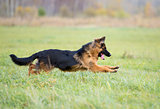 German shepherd dog long-haired jumping outdoor