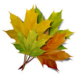 Realistic green and yellow maple leaves