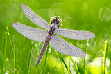 Dragonfly with dew drops