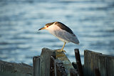 Black-crowned Night-Heron (Nycticorax nycticorax) face-lit