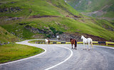 White and brown horses walking on Transfagarasan highway in Roma