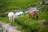 White and brown horses feeding near a water spring on Fagaras mo