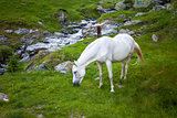 Wild white horse feeding on Fagaras mountain, Romania