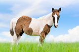Young horses are brown on sky background